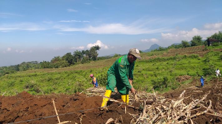 Penanaman Rumput Pakchong di Farm Limpakuwus